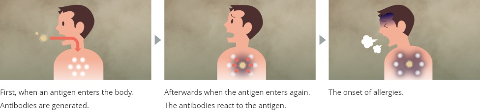 image:First, when an antigen enters the body. Antibodies are generated. Afterwards when the antigen enters again. The antibodies react to the antigen. The onset of allergies.