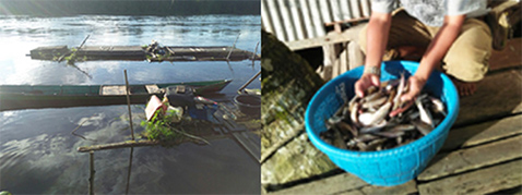 Photo left: Some catch fish in the wild./Photo right: Snake head fish is abundantly.